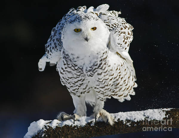 Snowy Poster featuring the photograph Dance Of Glory - Snowy Owl by Inspired Nature Photography Fine Art Photography
