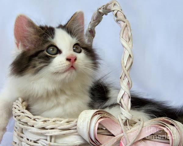 Kitten Poster featuring the photograph Kitten In Basket by Jai Johnson