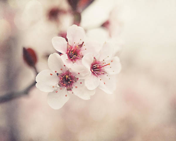 Flower Poster featuring the photograph Plum Blossoms by Lisa Russo