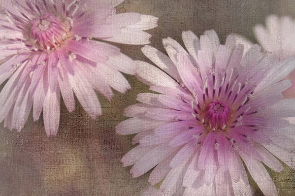 Pink Poster featuring the photograph Pastel Pink Passion by Benanne Stiens