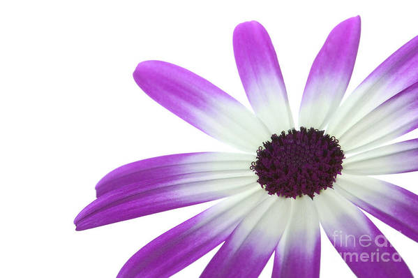 Senetti Poster featuring the photograph Senetti Magenta Bi-color Lower Right by Richard Thomas