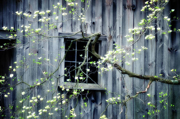 Spring Poster featuring the photograph Dogwood Blossoms by Thomas Schoeller