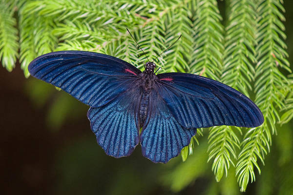 Butterfly Poster featuring the photograph Scarlet Swallowtail by Joann Vitali