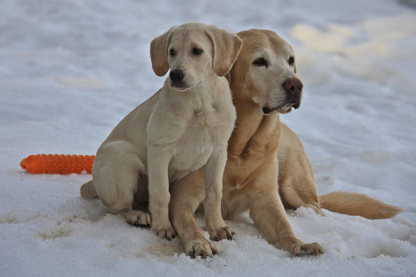 Dog Poster featuring the photograph Yellow Labradors by Steven Lapkin