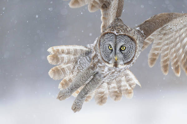 Great Poster featuring the photograph Great Grey Owl In Snowstorm by Scott Linstead