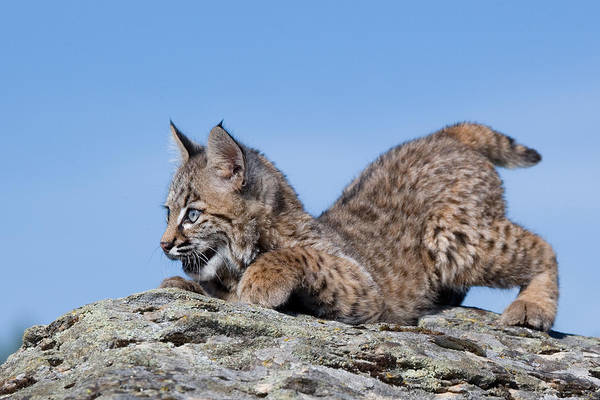 Playful Poster featuring the photograph Playful Bobcat Kitten by Paul Burwell