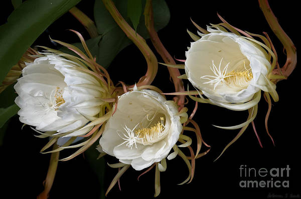 Cereus Poster featuring the photograph Night-blooming Cereus 0c by Warren Sarle