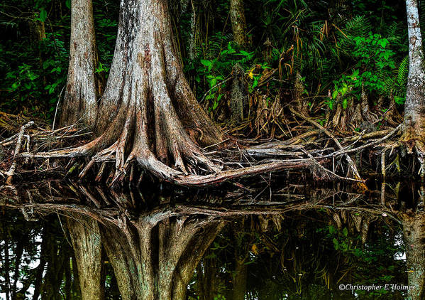 Christopher Holmes Photography Poster featuring the photograph Cypress Roots by Christopher Holmes