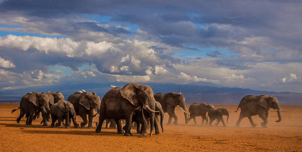 Nature Poster featuring the photograph Matriarch On Amboseli by Pieter Ras
