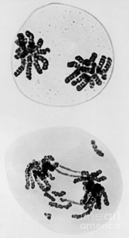 Chromosomes Poster featuring the photograph Tem Of Radiation Damage To Chromosomes by Omikron