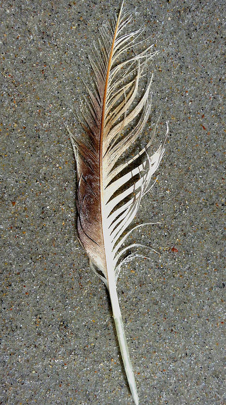 Feather Poster featuring the digital art Feather On The Beach by Patricia Januszkiewicz