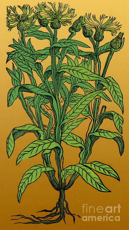 Perennial Cornflower Poster featuring the photograph Centaurea Montana, Bachelors Button by Science Source