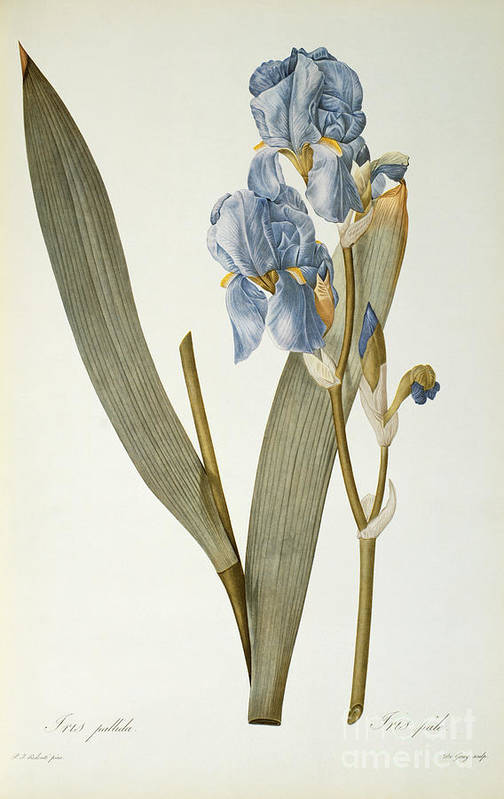 Iris Poster featuring the painting Iris Pallida by Pierre Joseph Redoute