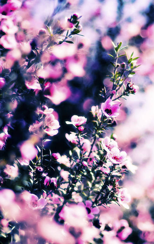 Manuka Tree Poster featuring the photograph Pink Manuka Flowers by motography aka Phil Clark