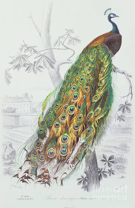 Peacock Poster featuring the painting The Peacock by A Fournier