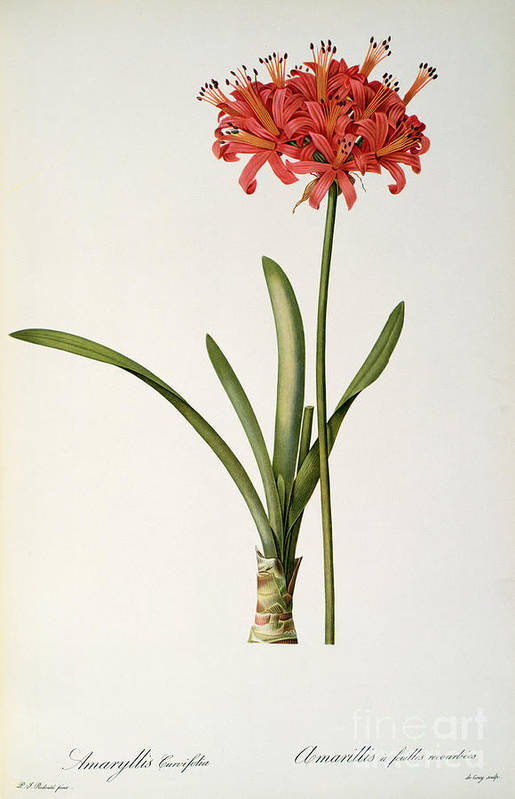 Amaryllis Poster featuring the drawing Amaryllis Curvifolia by Pierre Redoute