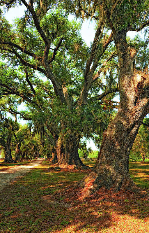 Evergreen Plantation Poster featuring the photograph Live Oak Lane by Steve Harrington