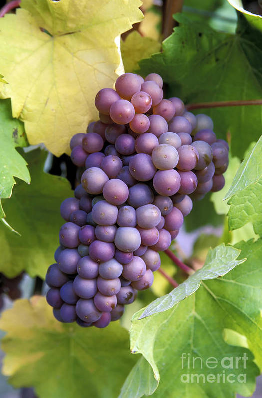 Harvest Poster featuring the photograph Pinot Gris Grapes by Kevin Miller