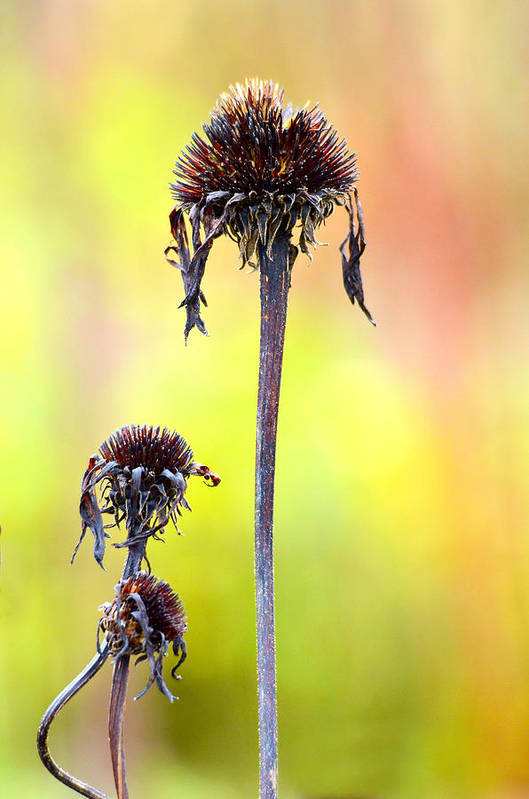 The Plant Poster featuring the photograph Wilted Flower by Toppart Sweden