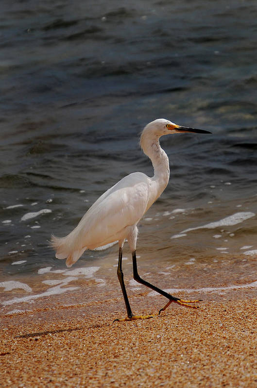 Egret Poster featuring the photograph Beach Bum by Skip Willits