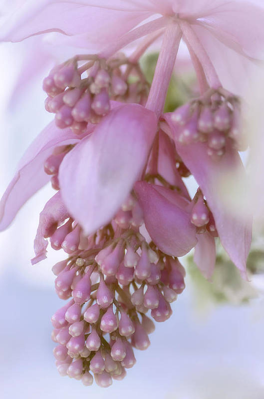 Rose Grapes Poster featuring the photograph Exotic Malaysian Orchid by Julie Palencia