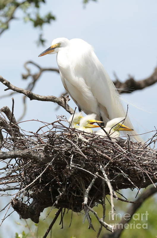 Egret Poster featuring the photograph Great Egret Nest With Chicks And Mama by Carol Groenen