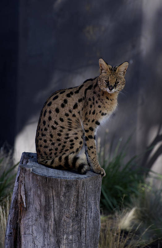 Australian Poster featuring the photograph Serval Posing by Graham Palmer