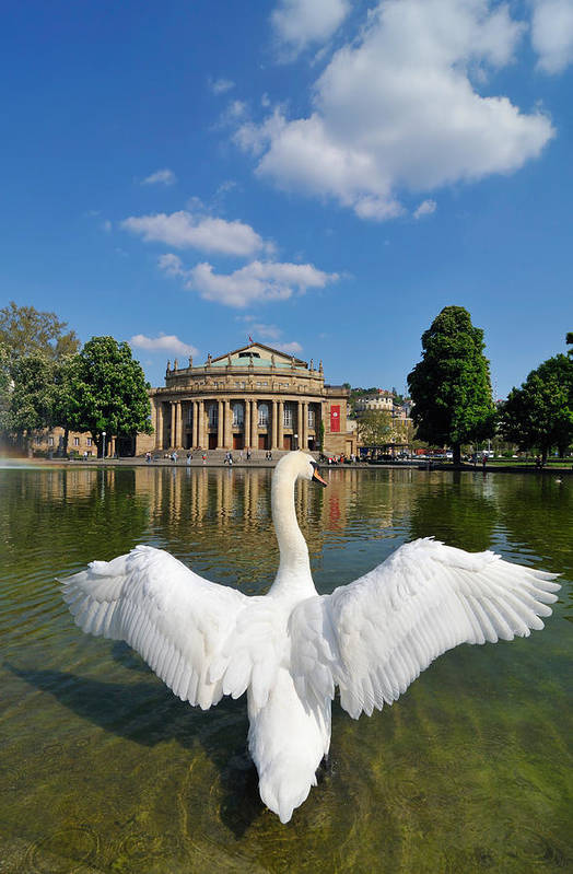 Swan Poster featuring the photograph Swan Spreads Wings In Front Of State Theatre Stuttgart Germany by Matthias Hauser