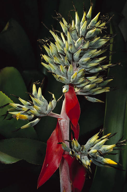 Mp Poster featuring the photograph Atlantic Forest Bromeliad Brazil by Mark Moffett