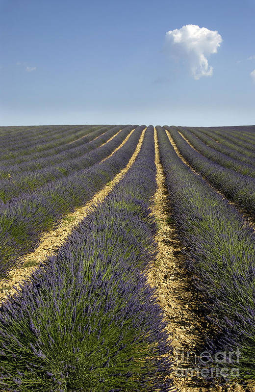 Lavender Poster featuring the photograph Field Of Lavender. Provence by Bernard Jaubert
