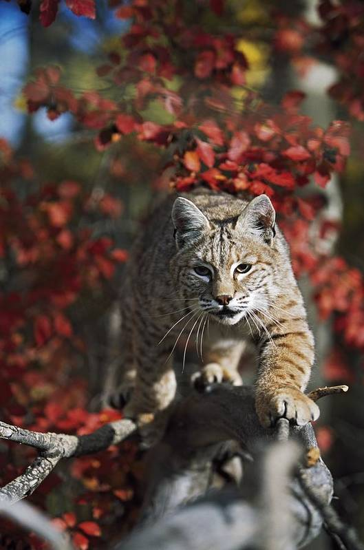 Attacking Poster featuring the photograph Bobcat Felis Rufus Walks Along Branch by David Ponton