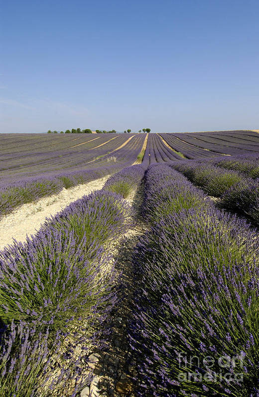 Lavender Poster featuring the photograph Field Of Lavender. Valensole. Provence by Bernard Jaubert