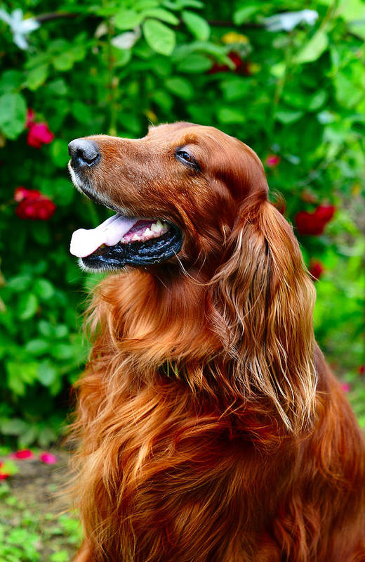 Dog Poster featuring the photograph Irish Setter by Jenny Rainbow