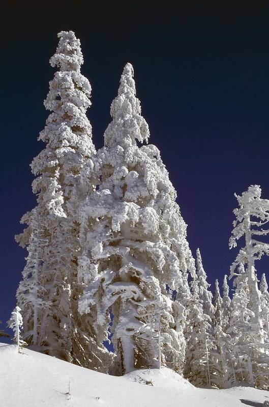 Frost Poster featuring the photograph Snow-covered Pine Trees On Mount Hood by Natural Selection Craig Tuttle