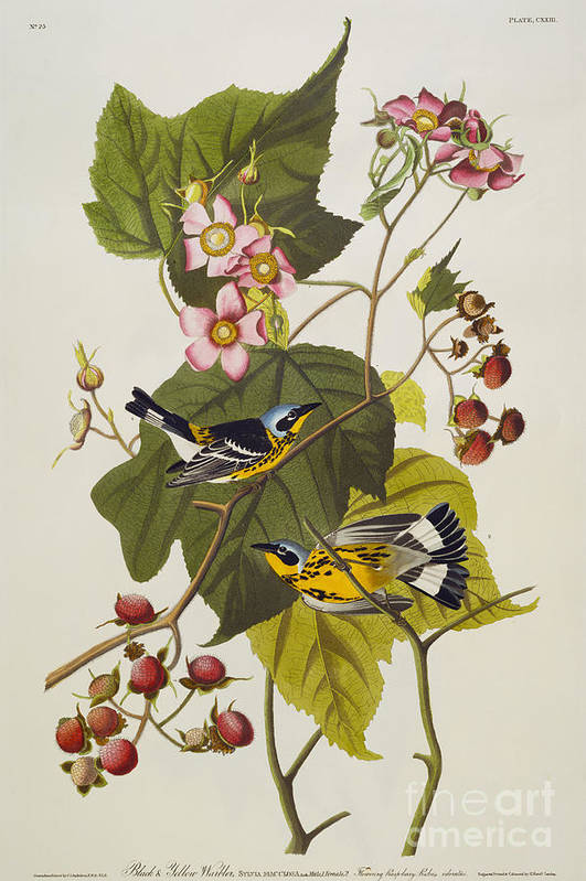 Black And Yellow Warbler. Magnolia Warbler (dendroica Magnolia) Plate Cxxiii From 'the Birds Of America' (aquatint & Engraving With Hand-colouring) By John James Audubon (1785-1851) Poster featuring the drawing Black And Yellow Warbler by John James Audubon