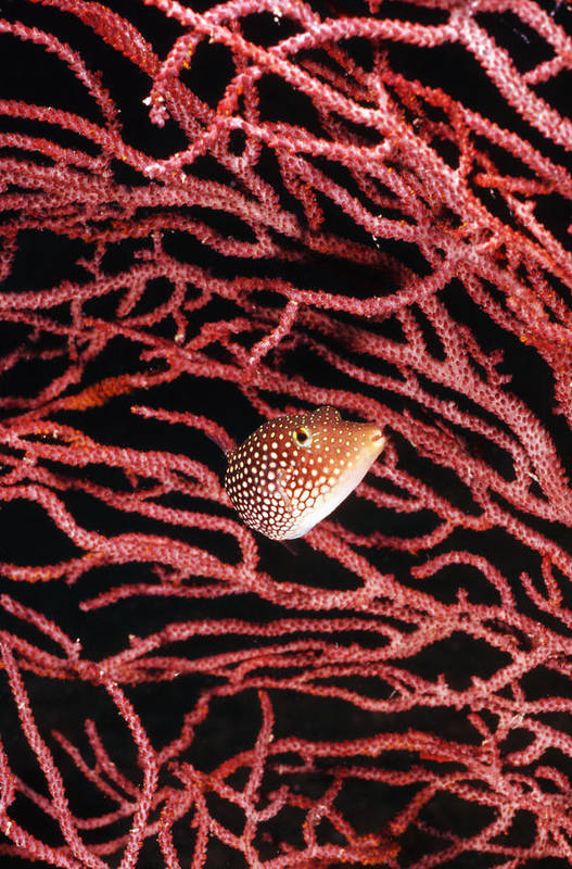 Sea Of Cortez Poster featuring the photograph Spotted Boxfish Hides In Red Sea Fan by James Forte