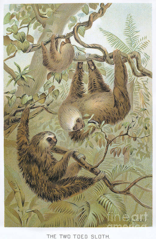 1904 Poster featuring the photograph Two-toed Sloth by Granger