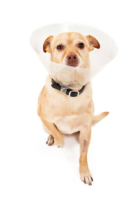Dog Poster featuring the photograph Chihuahua Mix Dog With Cone by Susan Schmitz