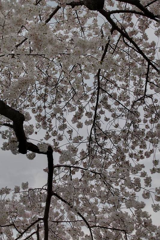 America Poster featuring the photograph Cherry Blossoms - Washington Dc - 011342 by DC Photographer