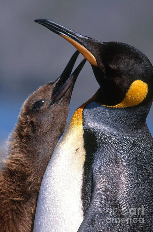 King Penguin Poster featuring the photograph King Penguin With Chick by Art Wolfe