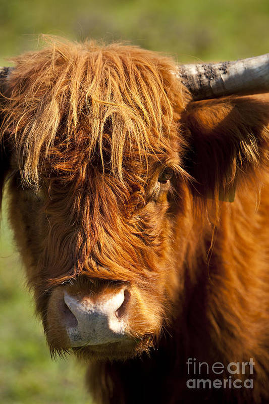 Scottish Poster featuring the photograph Highland Cow by Brian Jannsen