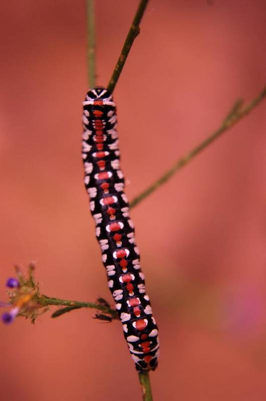 Caterpillars Poster featuring the photograph A Little Caterpillar by Jeff Swan
