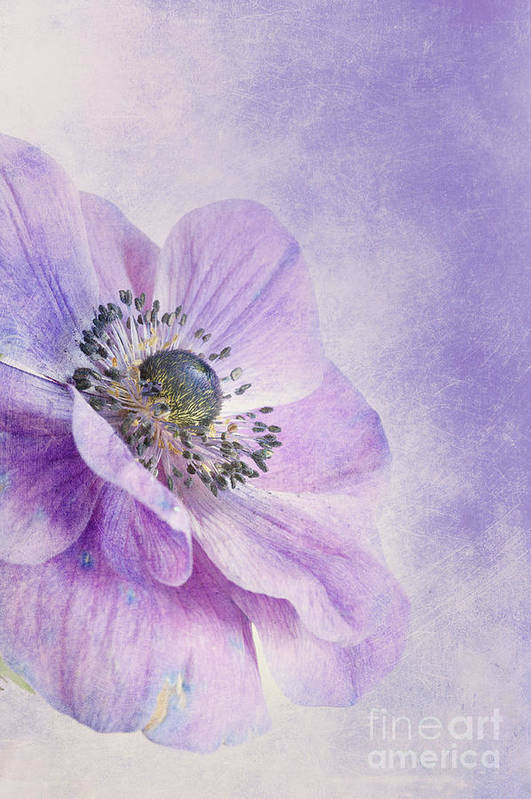 Purple Poster featuring the photograph Anemone by Priska Wettstein