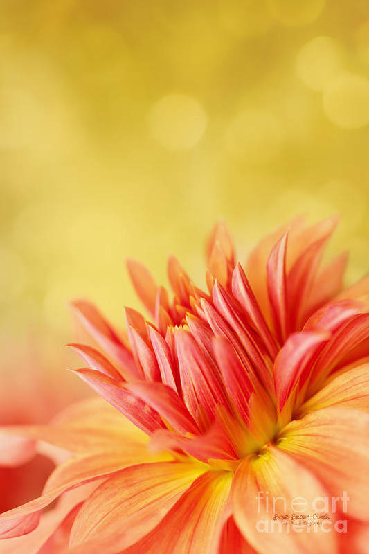 Dahlia Poster featuring the photograph Autumns Calling Card by Beve Brown-Clark Photography
