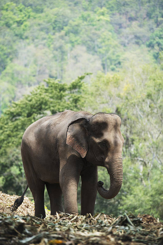 Day Poster featuring the photograph Baby Elephant Chiang Mai, Thailand by Stuart Corlett