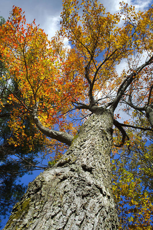 Fall Poster featuring the photograph Big Orange Maple Tree by Christina Rollo