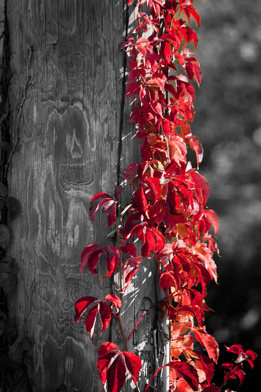 Virginia Creeper Poster featuring the photograph Creeper On Pole Desaturated by Teresa Mucha
