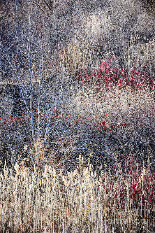 Grasses Poster featuring the photograph Dry Grasses And Bare Trees by Elena Elisseeva