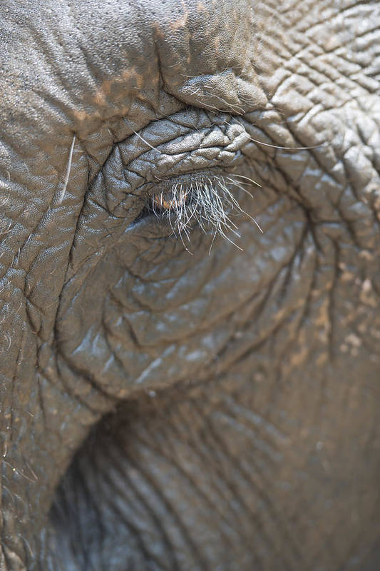 Day Poster featuring the photograph Elephant Eye Chiang Mai, Thailand by Stuart Corlett