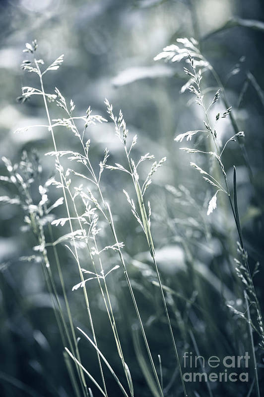 Green Poster featuring the photograph Evening Grass Flowering by Elena Elisseeva